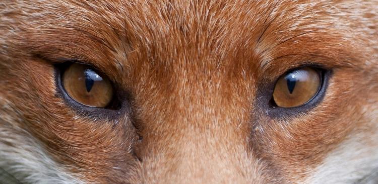 Fox-eyes-2